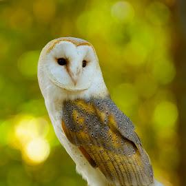 The Pose by Roy Walter - Animals Birds ( captivity, animals, barn owl, owl, birds, raptors )