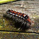 Yellow-tail/Swan Moth (caterpillar)