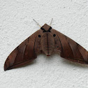 Ambulyx moth