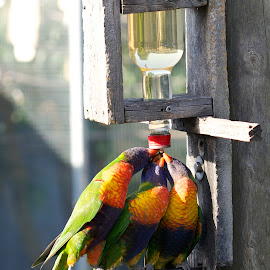 Rainbow Lorikeets by Wade Tregaskis - Animals Birds ( sugar water, rainbow lorikeet, trio, triplet, bottle, rainbow, sugar, feeder, lorikeet )