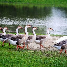 Procession of Geese . by Stimon Anik - Animals Birds ( water, bird, procession, duck, geese,  )