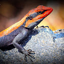 Peninsular Rock Agama and South Indian Rock Agama...
