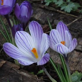 Signs of spring by Janet Gilmour-Baker - Flowers Flowers in the Wild ( purple, wold, crocus, flowers, spring, natural, flower,  )