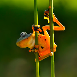 Ready to jump by Ais Setiawan - Animals Amphibians ( macro, frog, macro photography, amphibian )