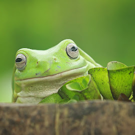 Look Frog by Thomp Jerry - Animals Amphibians ( #macro #animals #frog #macrophotography )