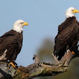 A Handsome Couple ! by Anthony Goldman - Animals Birds ( bird, eagle, wold, couple, bald, flrida, circle b bar reserve, lakeland )