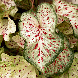 Caladiums Background by Robin Morgan - Nature Up Close Leaves & Grasses ( caladium, leaves )