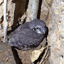 Spotted owlet - chick