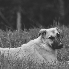 why? by Sorin Rizu - Animals - Dogs Portraits ( look, life, black and white, grass, dog,  )