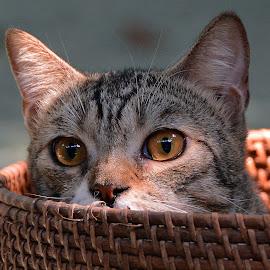 by Neni Wijaya - Animals - Cats Portraits ( bekasi, cat, ciketing, mygarden, animal, #GARYFONGPETS, #SHOWUSYOURPETS )