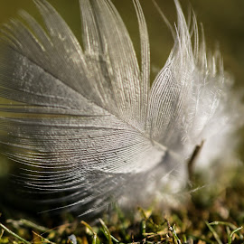 Feather by Darkeyes Photography - Artistic Objects Other Objects ( macro, photograpgy, macro photography, still life, object, close up, feather, close-up )