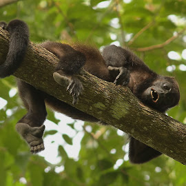 hanging out by Erin  Thomsen - Animals Other Mammals ( manzanillo, howler, howler monkey, jungle, green, tropical, costa rica, trees, brown, teeth, caribbean, monkey )
