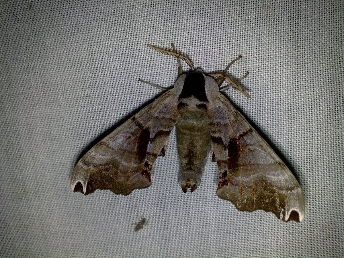 Eyed Hawk-Moth