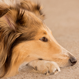 Dreamer by Wendy Allport - Animals - Dogs Portraits ( pet portrait, collie, rough collie, pet, lassie, dog, animal,  )