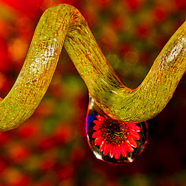 Drop with red bloom by David Winchester - Nature Up Close Natural Waterdrops