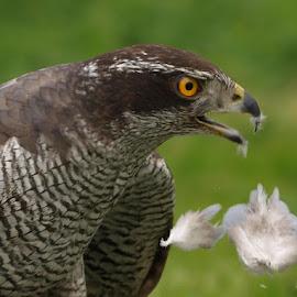 Goshawk feed 1 by Garry Chisholm - Animals Birds ( bird, garry chisholm, nature, wildlife, prey, raptor, goshawk, hawk )