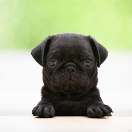 Black Pug by Fullerton FireCo - Animals - Dogs Portraits ( animals, dogs, pugs, cute )