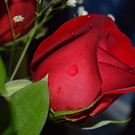 Love by Clara Scarano Scubla - Novices Only Flowers & Plants ( rose, red rose, flower, water drop )