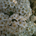 baby's breath spirea