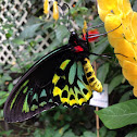 Cairns Birdwing(male)