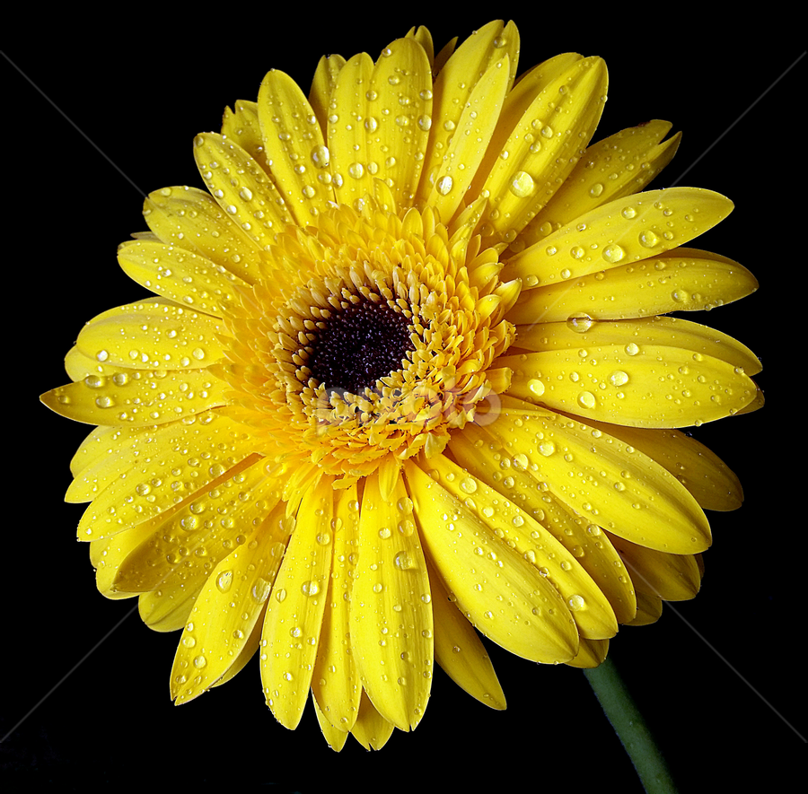 by Biljana Nikolic - Flowers Single Flower ( mood-lites, gift, wet.gerbera, moods, bright, petals, colorful, beautiful, nice, bulbs, yellow, waterdrops, black background, present, lighting, nature, color, freshness, light, mood factory )