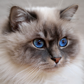 Isaac by Of-the-Star Designs - Animals - Cats Portraits ( cat, kitten, lynx point, birman, domestic, cream, blue, pet, lynx, blue eyes, feline, kitty, tabby )
