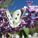 Large Cabbage White Butterfly