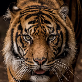 Sumatran Tiger by David Whelan - Animals Lions, Tigers & Big Cats ( sumatran tiger )