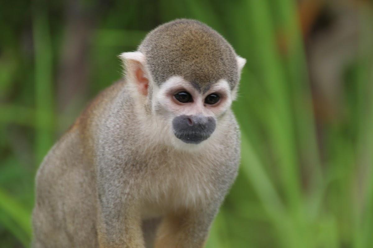 Mono ardilla
