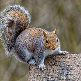 Nuts About Squirrels by Mick Weaver - Animals Other Mammals ( squirrel )