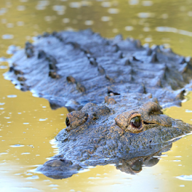 Staring eye by Tobie Oosthuizen - Animals Reptiles ( african, crocodile, nature up close, nile, reptile, eye )