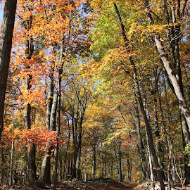 A Walk Through the Woods by Sharon Lippey Wilson - Landscapes Forests ( pathway, fall, leaves, woods )