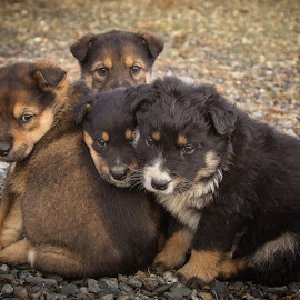 by Sharon Snider - Animals - Dogs Puppies