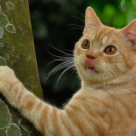 by Cacang Effendi - Animals - Cats Portraits ( cats, cattery, kitten, animals, chandra, #scottishstraight )