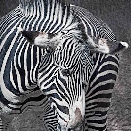 B & W Zebra by Michael Elliott - Animals Horses ( face, sideview, zebra, stripes, portrait )