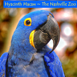 Hyacinth Macaw...The Nashville Zoo by Penny McWhirt - Typography Captioned Photos ( nashville zoo, tennessee, captioned photos, typography, hyacinth macaw, birds, portrait )