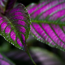 Purple Sword Leaf by Bonnie Marquette - Nature Up Close Leaves & Grasses ( plant, nature, purple, violet, leaf, botanical, sword )