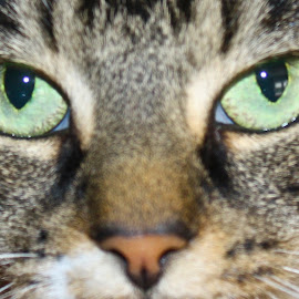 Green Eyes by Ernie Easter - Animals - Cats Portraits (  )