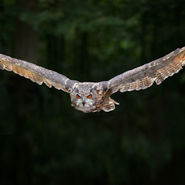 Head for by Michael Milfeit - Animals Birds ( uhu, schwingen, eule, head for, raubvogel, bubo bubo, approach, gleiten, eagle owl )