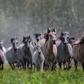 Stampede by Michael Milfeit - Animals Horses ( wild horse, brumby, wildpferde, herde, merfeld, galopp, pferde, dülmen, stampede,  )