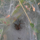 Funnel web-spider