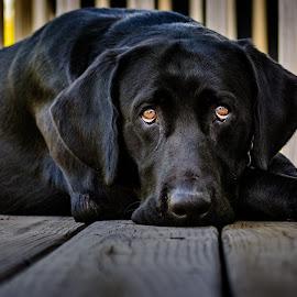 Hunter by Randy Scherkenbach - Animals - Dogs Portraits (  )