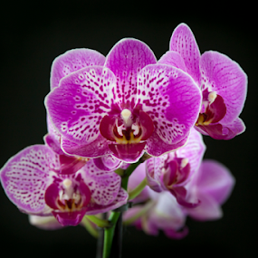 Dotted Pink Orchid by Anita  Christine - Flowers Flower Arangements ( isolated, nature, orchid, exotic flower, phalaenopsis, orchidee, flower, black,  )