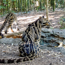 Clouded Leopard by Penny McWhirt - Animals Lions, Tigers & Big Cats ( clouded, sitting, watchful, leopard )