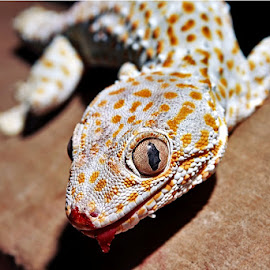 Gecko by Jandri Aguilor - Animals Reptiles ( nature, gecko, house pet, bloody, reptile )