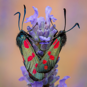 six spotted burnet moth by Kain Dear - Animals Insects & Spiders ( burnet, spotted, red, lavender, mating, dots, moth, flower, six )