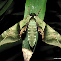 Lesser Pink-and-Green Hawkmoth