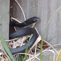 Southern Black Racer