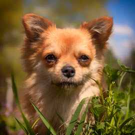 Grass tall by Cristian Barleanu - Animals - Dogs Portraits ( grass, dog, small, portrait )