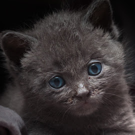 Softly by Fabb Winter - Animals - Cats Kittens ( cats, kitten, blue eyes, baby, cute, portrait, eyes,  )